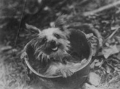 """Smoky (1943 – 21 February 1957), a Yorkshire Terrier, was a famous war dog who served in World War II. Smoky was credited with twelve combat missions and awarded eight battle stars. She survived 150 air raids on New Guinea and made it through a typhoon at Okinawa. Smoky even parachuted from 30 feet in the air, out of a tree, using a parachute made just for her. On February 21, 1957, """"Corporal"""" Smoky died unexpectedly at the approximate age of 14."""