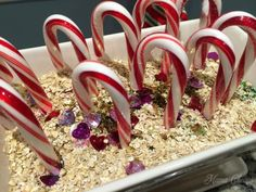 Talk about some serious magic! Here's how to set up a Magic Candy Cane Christmas Garden for your Elf on the Shelf. Christmas Napkins, Christmas Items, Christmas Elf, Christmas Garden, Magical Christmas, Candy Cane Poem, Candy Canes, Outdoor Christmas Decorations, Jelly Beans