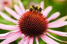 Echinaceové kapky Potřebujeme 100 gramů čerstvých květů třapatky (echinacea), případně 200 gramů sušených květů, 0,5 litru 60% lihu nebo kvalitní pálenky (slivovice, meruňkovice apod.). Květy vložte do vhodné sklenice a zalijte lihem. Nechte stát jeden týden na teplém místě a občas protřepejte. Po týdnu sceďte přes jemné plátno a uložte ve tmavé sklenici do chladu. Pro posílení imunity užívejte každé ráno nalačno jednu lžičku.
