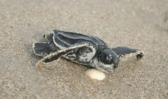Sea-turtle season produces encouraging numbers on new hatchlings ... YAY!