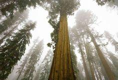 Si ver una secuoya gigante impone, ver un bosque entero de ellas es sobrecogedor. Mariposa Grove, en... - Corbis. Texto: Redacción Traveler
