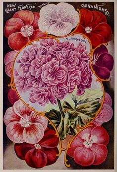 Geraniums page, Childs' 1903