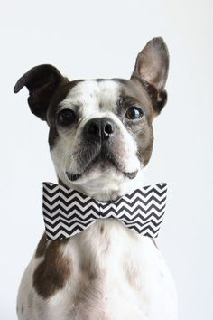 a bow tie makes everyone fancy