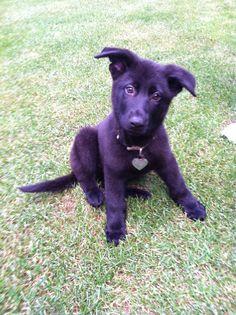 Black German Shepherd puppy. Dodgieee