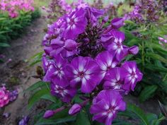 South Eastern Horticultural Phlox Paniculata Purple Perennial