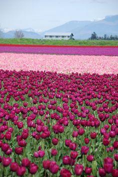 Tulip Field, Mt. Vernon Washington