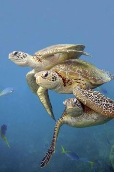 Great Barrier Reef Life turtle / Need to Work on Formation Swimming! Beautiful Creatures, Animals Beautiful, Cute Animals, Baby Sea Turtles, Tortoise Turtle, Turtle Love, Green Turtle, Underwater Life, Sea And Ocean