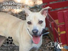 SHIRLEY - URGENT - located at Manatee County Animal Services in Palmetto, Florida - ADOPT OR FOSTER - Spayed Female German Shepherd Mix - at shelter since April 20, 2016 - ADORABLE, sweet, happy and FUN!! Come and meet this sweet girl. She Loves her walks and spending time with you! She walks well on a leash. She is attentive and likes to learn. She knows sit, down and come. She adores the play yard and playtime! Especially with her toys!!