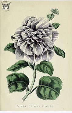 Petunia Schüle's Triumph. Deutsches Magazin fur Garten- und Blumenkunde. (1858)