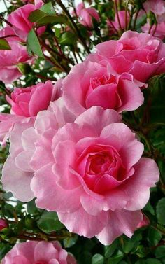 Exquisitely perfect pink roses.