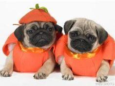 Pumpkin pugs!