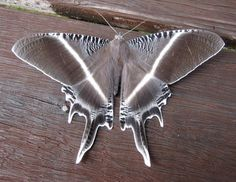"""libutron: """" Lyssa menoetius A species of moth in the Uraniidae family, known from Borneo, Philippines, Sangir, Sulawesi and Thailand. References: [1] - [2] Photo credit: ©Chun Xing Wong Locality: Maliau Basin Forest, Sabah, Malaysia. """""""
