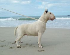Stacked and ready English Bull Terriers, Bull Terrier Dog, Dog Suit, Dog Varieties, Best Dogs, Pitbulls, Guard Dog, Bullies, Doggies