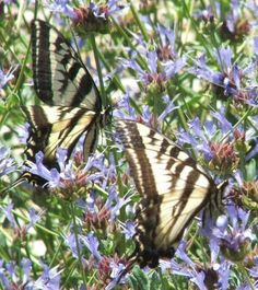 Two Pale Swallowtail Butterflies on one Salvia clevelandii Alpine. This sage has been been a wildlife magnet in the garden. - grid24_12