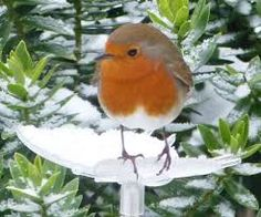 Image result for robins in snow