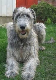Irish Wolfhound i want this dog someday