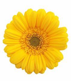 "Gerbera Daisy - yellow"" by Charlotte Stevens | Redbubble"