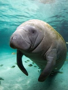 It will never cease to amaze me that manatees are on the endangered species list and they have NO natural predators. Man is their only predator with his fishing nets and boat propellers. What a majestic creature!