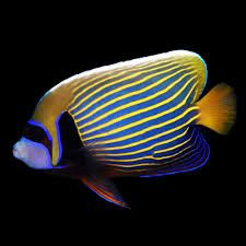 Shop Petco's live pet fish store for a selection of brightly colored saltwater & freshwater aquarium fish. Find your live fish, inverts, coral & more here. Marine Aquarium Fish, Aquarium Fish For Sale, Saltwater Aquarium Fish, Freshwater Aquarium Fish, Colorful Fish, Tropical Fish, Salt Water Fish, Live Fish, Angel Fish