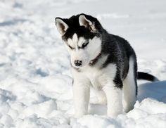 chien husky | Partager cette photo