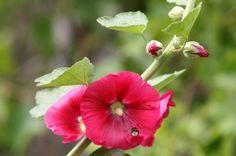 Malwa - bardzo cenny surowiec zielarski Healing Herbs, Natural Remedies, Flora, Food And Drink, Garden, Nature, Magick, Diet, Hibiscus