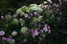 Hydrangea 'Annabelle' and pink Japanese anemone