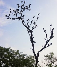 Resting Abode - This leafless tree in Sanjay Van is often thronged by pigeons and other birds. Seeing these many perching together was a joy to watch.