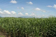 Fields of Sugar Cane