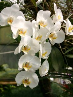 "Phalaenopsis amabilis (Moon Orchid, Moth Orchid, The Lovely Phalaenopsis) → Plant characteristics and more photos at: http://worldoffloweringplants.com/?p=512  ""Hope is the only bee that makes honey without flowers."" - Robert Green Ingersoll"