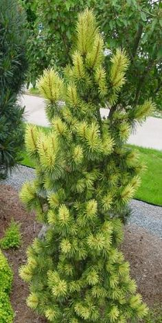 Rich's Foxwillow Pines Nursery, Inc. - Pinus contorta – 'Taylor's Sunburst'Lodgepole Pine