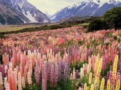 so many lupines...