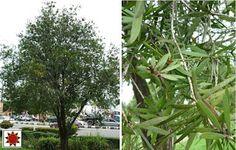 LANDSCAPE WITH TREES/ POKOK LANDSKAP | Agrobio Solutions -Delivering Solutions In Agriculture and Landscape Industries
