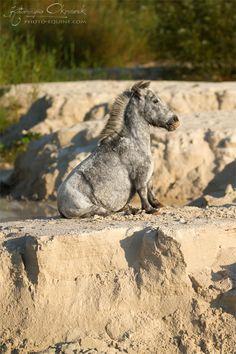 An Acondroplastic Dwarf Miniature Horse. Look at those tiny legs! He's sooo cute!!