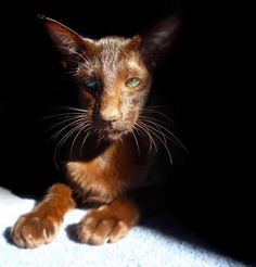 Art and photos of the Siamese Cat. Siamese/Orientals cats