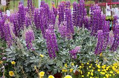 "Lupinus sericatus""Cobb Mountain Lupine"" - 2-3' tall and wide, glaucus foliage."