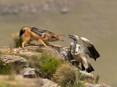 Cape Vulture and Silverstriped Jackal fighting for food !!! Wow!