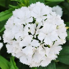 Sweet William Seeds - AlbusPerfect for the cutting garden, the crisp white umbels of Albus Sweet William stand on long, sturdy stems. Once cut, the blooms are long lasting and easily included in a variety of arrangement styles. But, if you prefer to enjoy blooms in their natural garden setting, Sweet William makes a lovely addition to any garden.