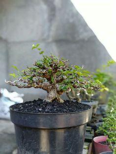 Bonsai Ficus, Bonsai Wire, Mame Bonsai, Indoor Bonsai Tree, Bonsai Plants, Bonsai Garden, Bonsai Tree Types, Bonsai Styles, Asian Garden