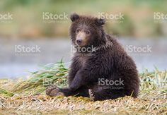Grizzly Bear Cub royalty-free stock photo