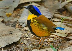 Gurney's Pitta  - endangered. It was initially thought to be extinct for some time after 1952, but was rediscovered in 1986.