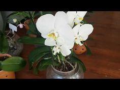 Orkideleriniz daha canlı daha parlak ve güçlü köklere sahip olacak bu bakım ile beraber. Kombucha, Growing Plants, Farmer, Make It Yourself, Youtube, Plants, Home, Roots, Orchids
