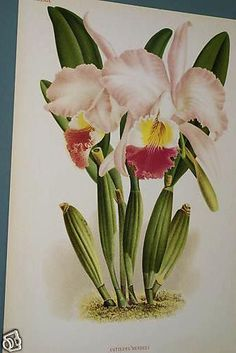 Lindenia Print Limited Edition Collectable Cattleya Mendeli Orchid  cheetahdmr@aol.com asmatcollection on ebay and bonanza.com