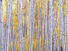 Golden foliage offset by silvery aspen trunks.  Photo: aspen trunks  by jjraia