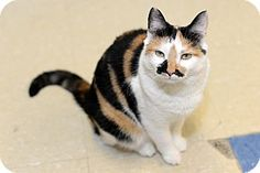 Whitehall, PA - Calico. Meet Reese, a cat for adoption. http://www.adoptapet.com/pet/13479910-whitehall-pennsylvania-cat