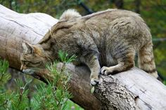 Felis silvestris - jump