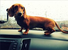 Dachshund of the Month - (Entry 19) Submitted by continuez Like to vote