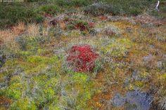 Värikkäitä rahkasammalia - värikäs kirjava märkä upottava pettävä suo…