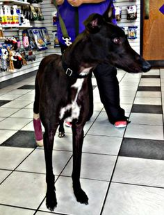 Bogart - 3 yr old with a badly broken right hock.
