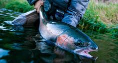 How Steelhead Rely On Rainbow Trout To Survive 2016 / BY LOUIS CAHILL