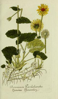 doronicum pardalianches      ...